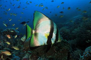 Shaded Batfish (Platax Pinnatus, aka Pinnate Batfish, Dusky Batfish, Red-faced Batfish), Swimming over a Coral Reef. Dampier Strait, Raja Ampat, Indonesia