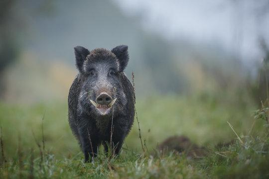 Male boar on a misty morning