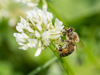Honey bee feeding on the flower of clover.