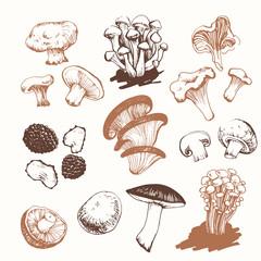 Mushrooms: shiitake, chanterelle, honey.  Hand drawn .