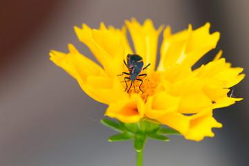 Boxelder Bug on Coreopsis, aka Tickseed, yellow flower