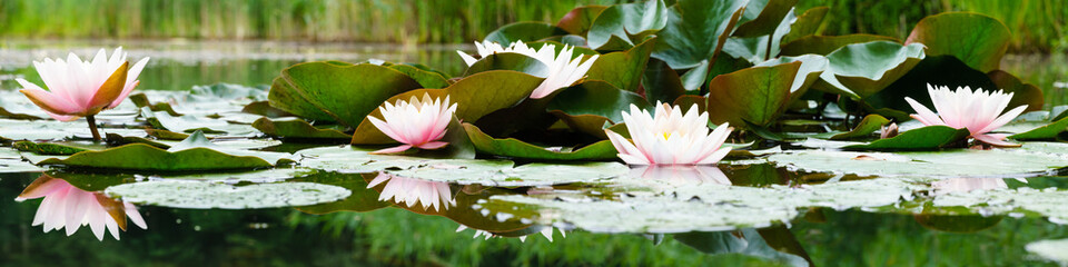 Keuken foto achterwand Waterlelies beautiful flowers lily on water