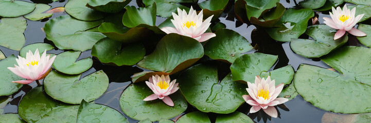 Stores photo Nénuphars beautiful flowers lily on water