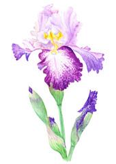 Iris Watercolor Illustration