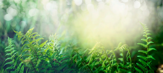 Fern in tropical jungle forest with sun light, outdoor nature background, banner