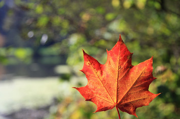 Maple leaf with autumn colors