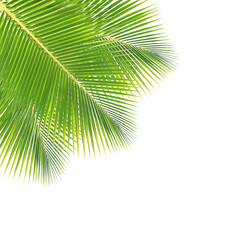 Coconut leaf isolated on white background