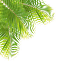 Coconut leaf isolated white background