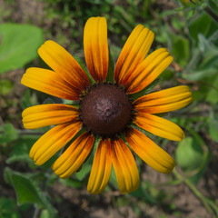 Rudbeckia flower on top of a bed