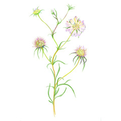 Wild flower. Drawing by watercolor pencils