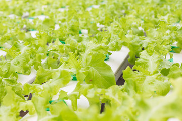Organic hydroponic vegetable in cultivation farm.Vegetables that