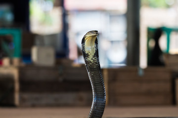 King cobra liftting head, waiting to bite an opponent.