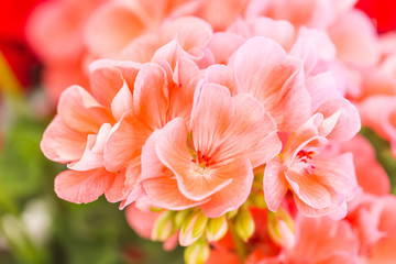 pink geranium flowers with delicate petals clustered together.