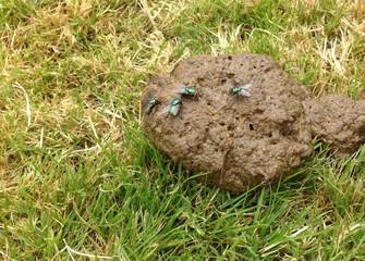 Photos illustrations et vid os de mouche merde - Invasion de mouches vertes ...