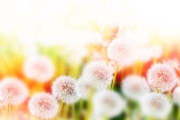 Fluffy dandelion flower against the background of the summer lan