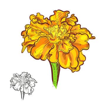 Hand drawn vector illustration of flowers marigold. Vector eps 8