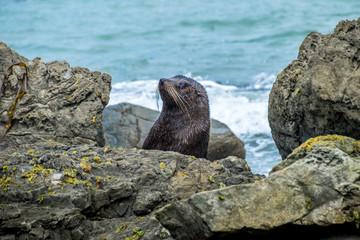New Zealand Fur seal at Otago Peninsula, Dunedin, South Island, Otago, New Zealand, Pacific. New Zealand Fur Seals (Arctocephalus Forsteri) resting in the sunshine on a rock
