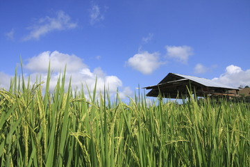 rice paddy in backgrounds sky
