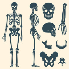 Human bones skeleton silhouette vector. Set of bones, illustration spine and skull bones
