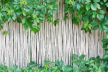White bamboo fence texture background with green grape leaves