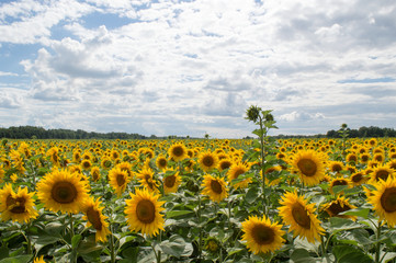sunflower nature farming landscape sky clouds yellow sunlight