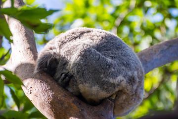 Canvas Prints Koala sleeping on a tree