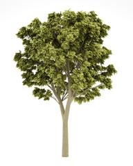 white ash tree isolated on white background. 3d illustration