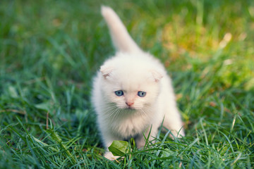 Little kitten walking on the grass