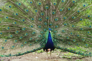 Peacock fanning tail feathers