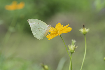 Yellow Butterfly sucking nectar from yellow  flowers .
