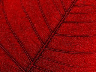 red leaf texture ( bodhi leaf)