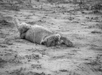 Lion cub laying in the dirt in black and white.