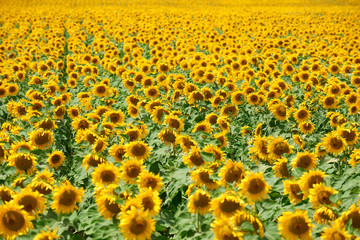 sunflower field closeup summer landscape, row arranged