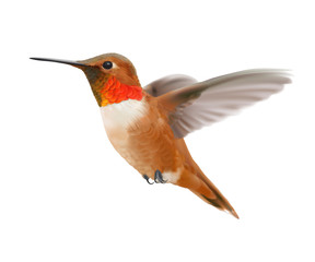 Flying Rufous Hummingbird - Selasphorus rufus.   