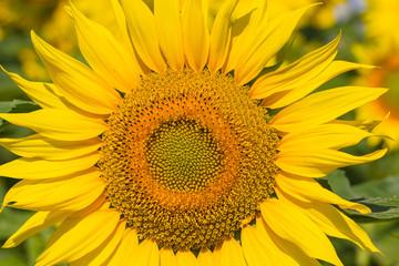 Sunflower Flower.