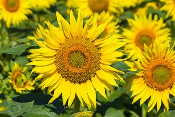 Large sunflower flowers.