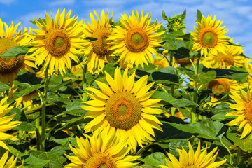 Field of with blooming sunflowers.