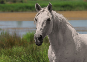 Beautiful white or light gray horse at the lagoon of Camargue reserve, Bouches-du-rhone region, south France