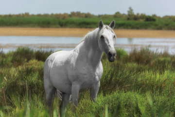 Beautiful white or light gray stallion at the lagoon of Camargue reserve, Bouches-du-rhone region, south France