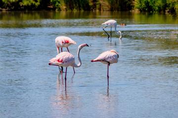Les flamants roses de Camargue