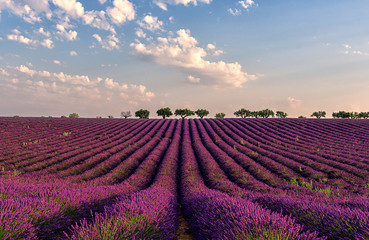 Poster Crimson Gentle pink sunrise over the endless lavender fields in Provence, France
