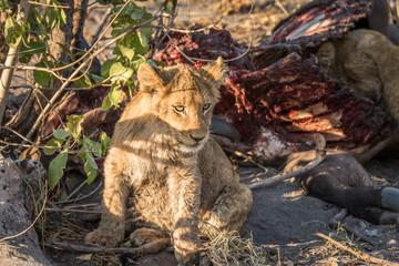 Lion cub sitting next to a Buffalo carcass.