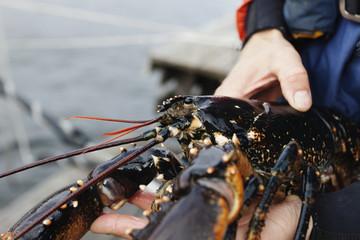 Sweden, Bohuslan, Orust, Mid adult man holding lobster