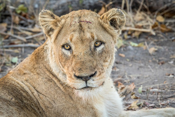 Lioness starring in the Kruger National Park.