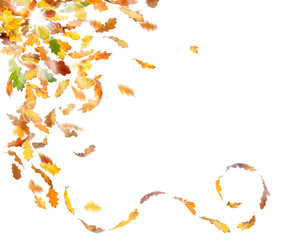 Autumn oak leaves falling down on white background.