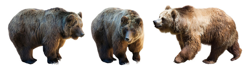 Set of 3 brown bears over white Wall mural