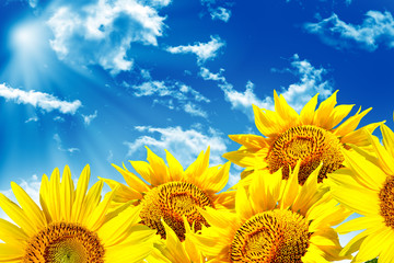 Beautiful sunflower field in summer. yellow flowers