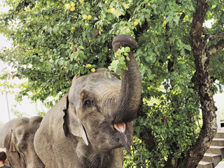Elephant eating leaves from tree