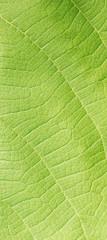leaf texture ( teak leaf )