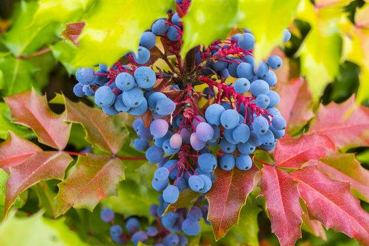 Oregon grape plant in full bloom